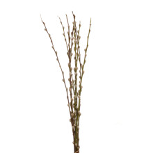 Salix Wilgenkatjes 70 cm