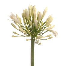 Agapanthus Bianca Pearl