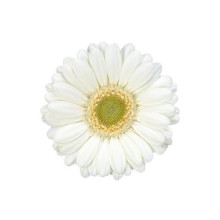 Germini Albino