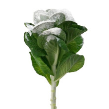 Brassica frostad vit-