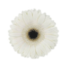 Gerbera White House.