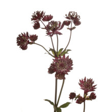 Astrantia Star of Fire.