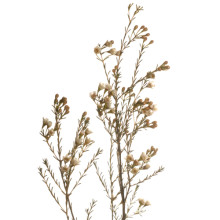 Chamelaucium Blondie