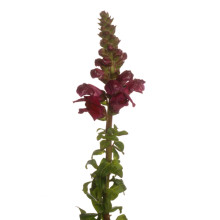 Antirrhinum Potomac Red