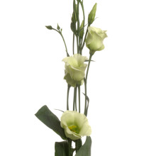 Eustoma Piccolo lime