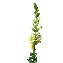 Antirrhinum Yellow.