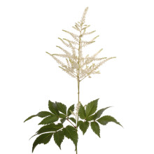 Astilbe Washingtonia.