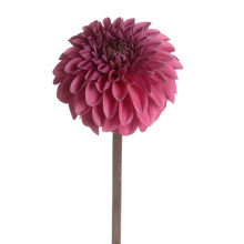 Dahlia Ball Purple
