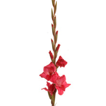 Gladiolus T 512.