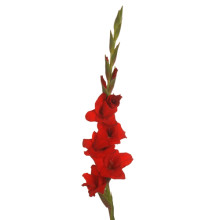 Gladiolus Red Balance
