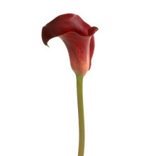 Zantedeschia Red Balance