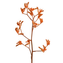 Anigozanthus Orange