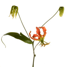 Gloriosa Exotic Orange