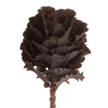 Brassica Black