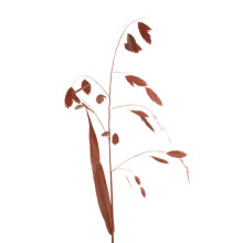 Chasmantium Latifolia röd.