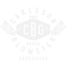 Hyacint vaxad vit glitter