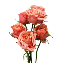 Ros Coral Yo-Yo kvistros