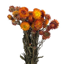 Helichrysum Orange